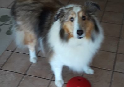 #sheltie #stopbarking #bestdogtrainernaples #homedogtraining